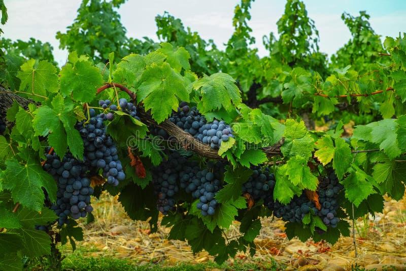 Francuska czerwień i różana win winogron roślina, pierwszy nowy żniwo wino fotografia stock