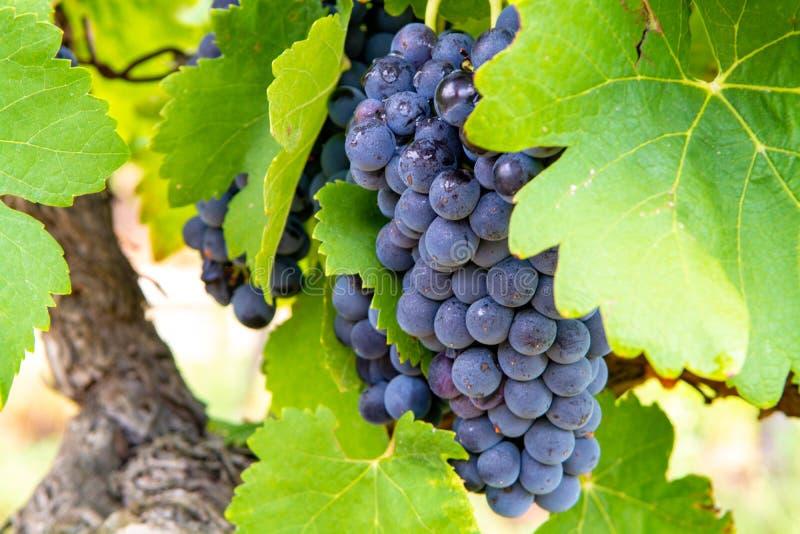 Francuska czerwień, różana win winogron roślina i pierwszy nowy żniwo wina winogrono w, Francja, Costieres de Nimes AOP, domena l fotografia royalty free