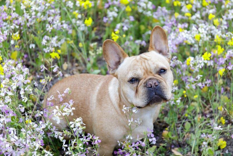 Francuski buldog w kwiacie w Północnym Kalifornia fotografia stock
