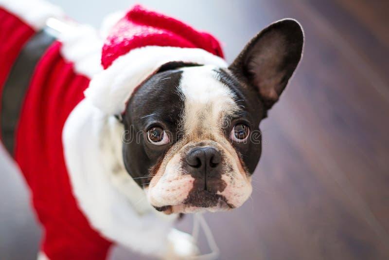 Francuski buldog w Santa kostiumu dla bożych narodzeń obrazy royalty free