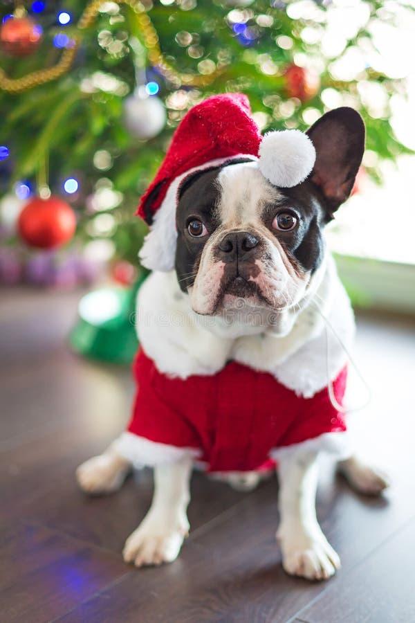 Francuski buldog w Santa kostiumu dla bożych narodzeń zdjęcia stock
