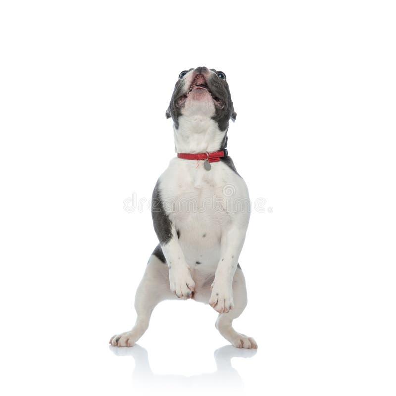 Francuski buldog z czerwoną psiego kołnierza pozycją na tylnych nogach fotografia royalty free