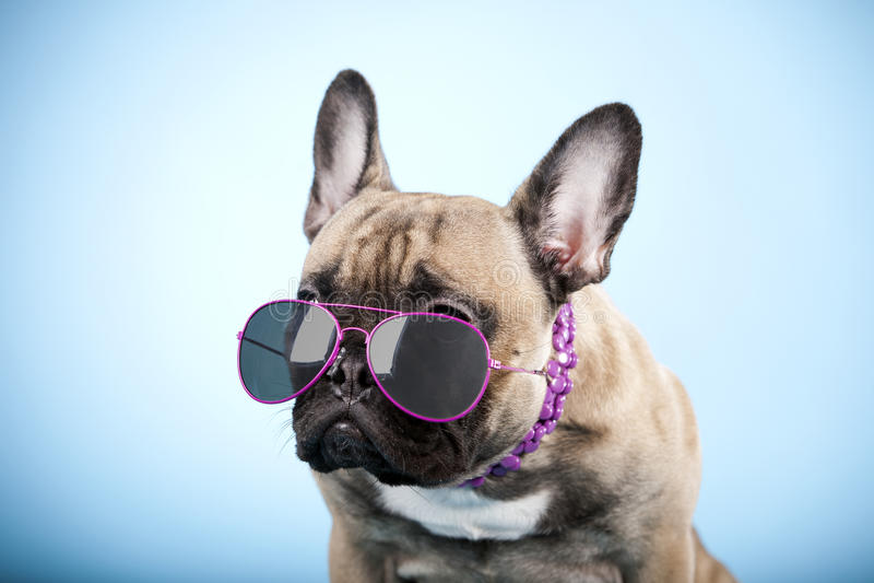 Francuski buldog z okularami przeciwsłonecznymi obraz stock