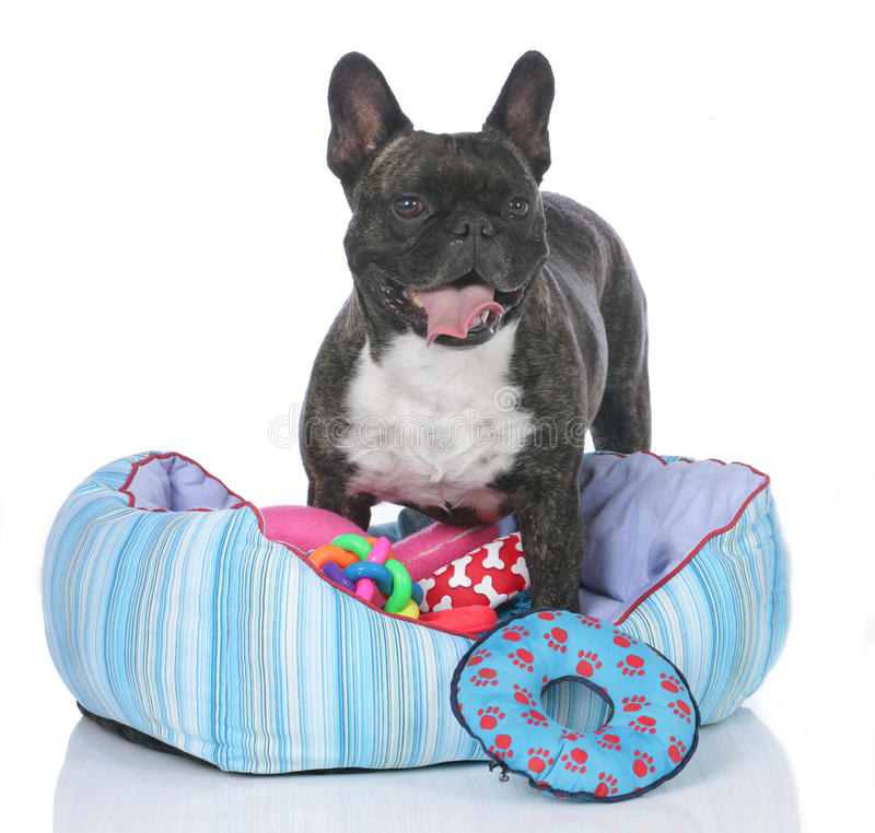Francuski buldog z psim łóżkiem i udziałami zabawki obraz stock