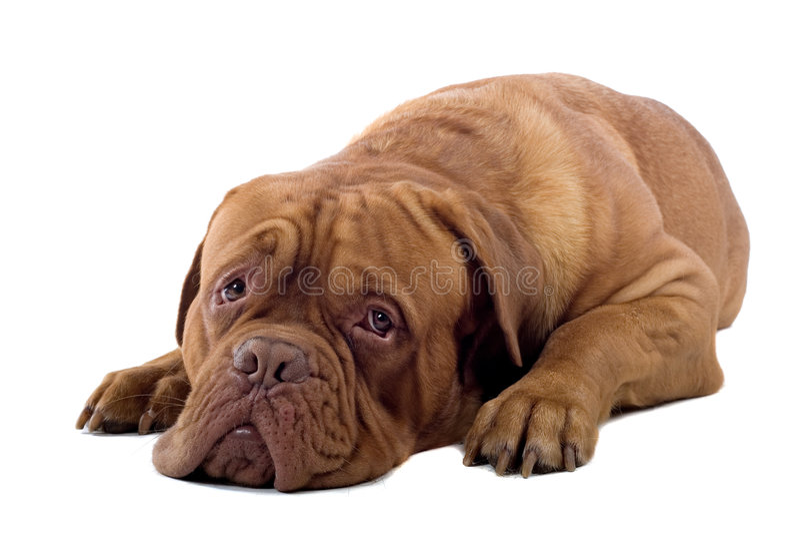 francuski mastif pies obrazy stock