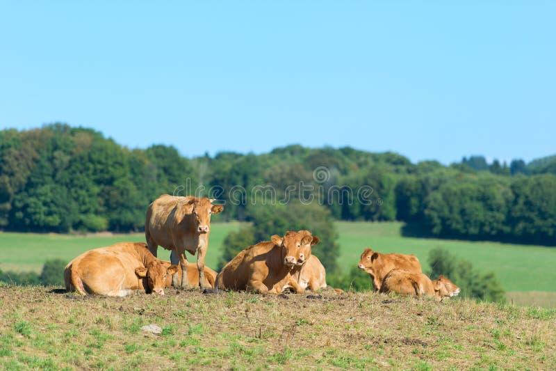 Francuskie limuzyn krowy zdjęcie royalty free