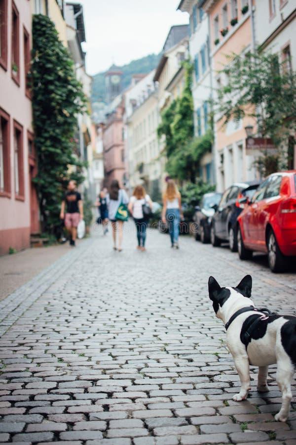 Francuskiego buldoga gapienia ludzie na Heidelberg ulicie zdjęcie stock