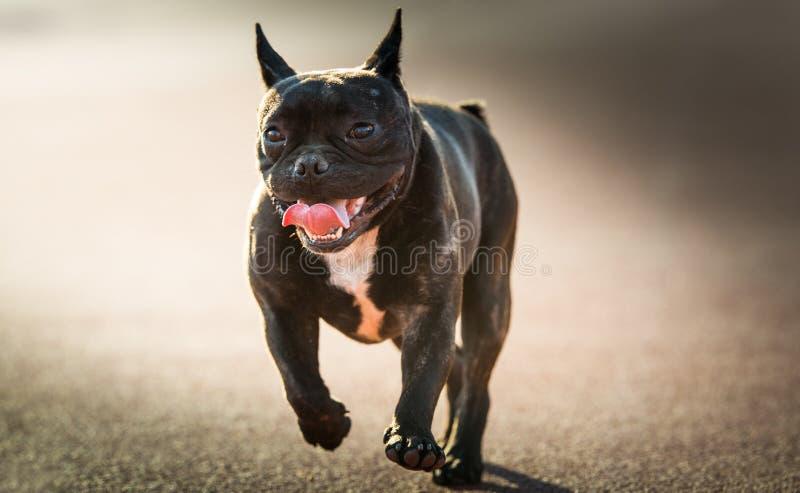 Francuskiego buldoga pies obrazy stock