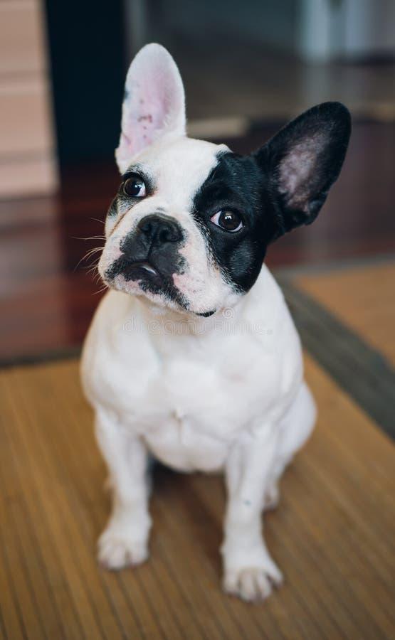 Francuskiego buldoga pies w domu zdjęcia royalty free