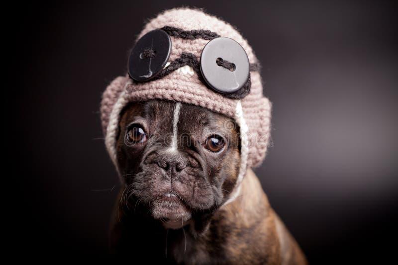 Francuskiego buldoga szczeniak w dzianina pilota hełmie obraz royalty free
