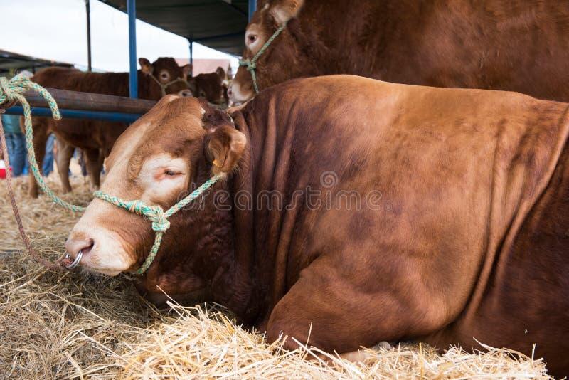 Francuza Limousin byki obrazy stock