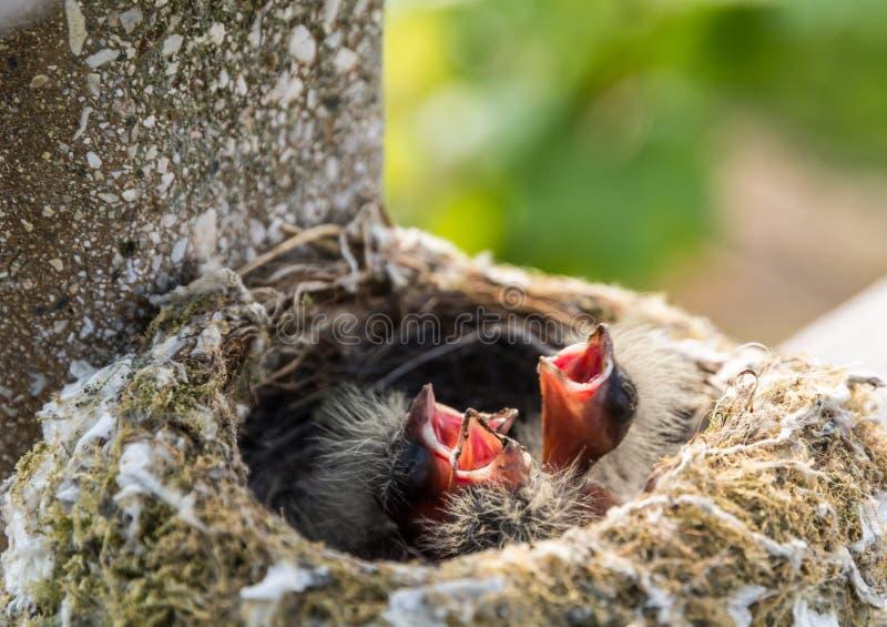 franges de bébé dans le nid images libres de droits
