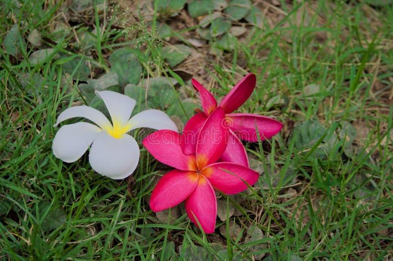 Frangini tre sull'erba fotografia stock