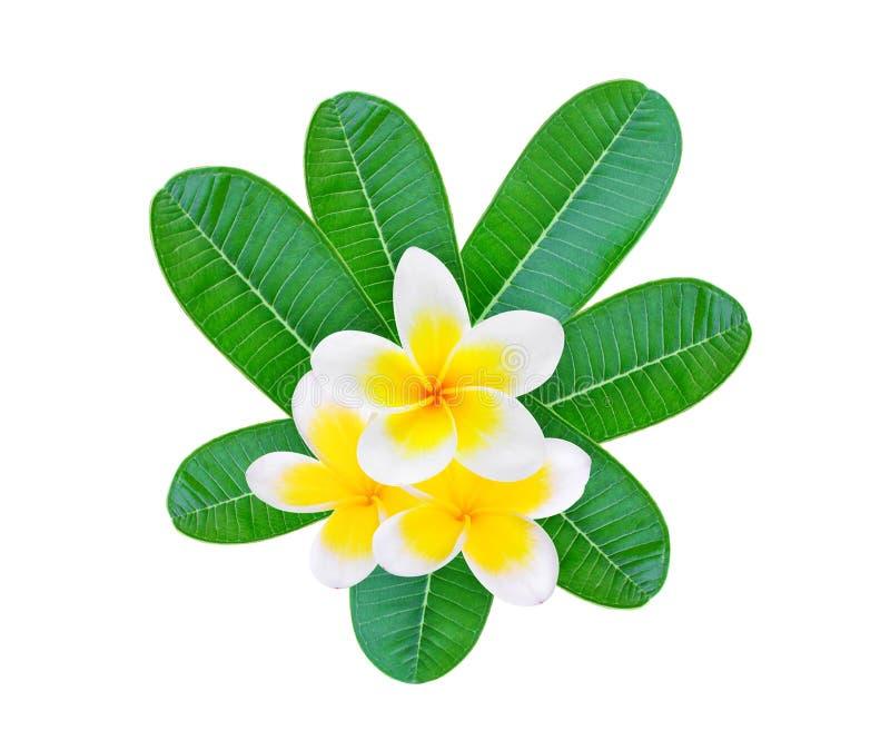 Frangipane bianco con le foglie verdi isolate su bianco fotografia stock libera da diritti