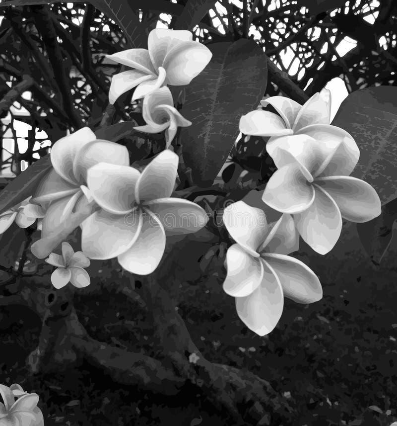Frangipani, красивый тропический цветок чернота, серый цвет и белизна стоковая фотография