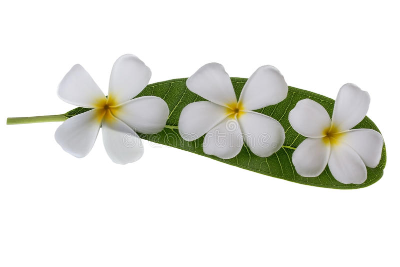 Frangipani και φύλλα σε ένα άσπρο υπόβαθρο στοκ εικόνες