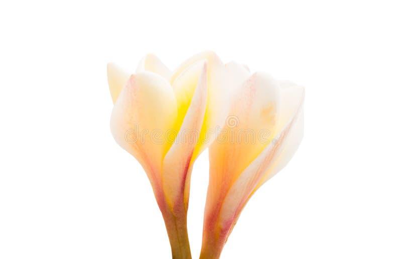 frangipani λουλουδιών που απομ& στοκ εικόνες με δικαίωμα ελεύθερης χρήσης