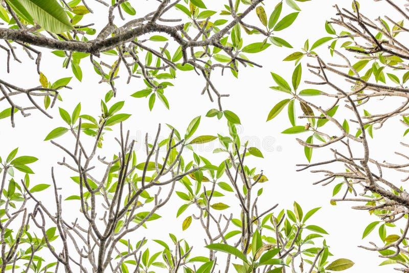 Frangipani дерева Plumeria - листья isolted на белой предпосылке стоковые фото