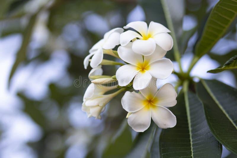 Frangipani цветет Frangipani белый и выходит красивый, концепция: Символы духов ароматности спа ослабляя, букет цветков к стоковые изображения