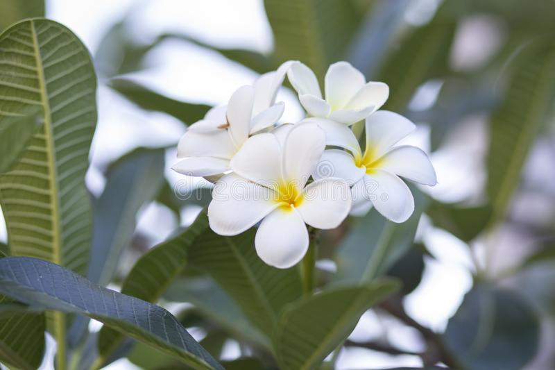 Frangipani цветет Frangipani белый и выходит красивый, концепция: Символы духов ароматности спа ослабляя, букет цветков к стоковое изображение rf