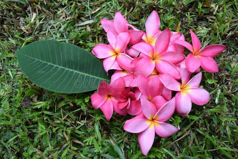 Frangipani цветет (розовый цветок Plumeria) стоковые фотографии rf