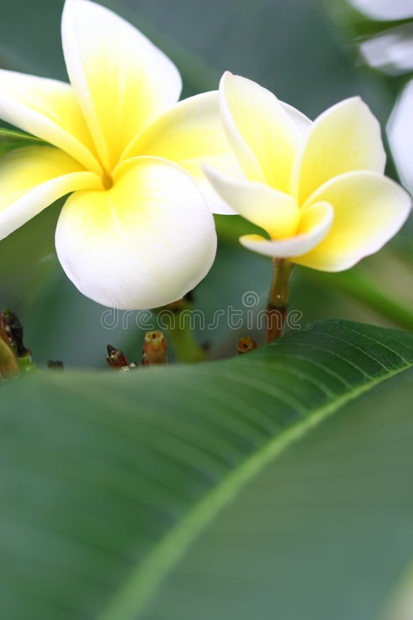 frangipani цветка стоковые фотографии rf