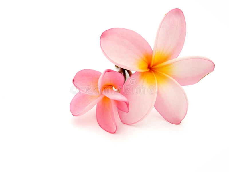 frangipani στοκ φωτογραφία με δικαίωμα ελεύθερης χρήσης