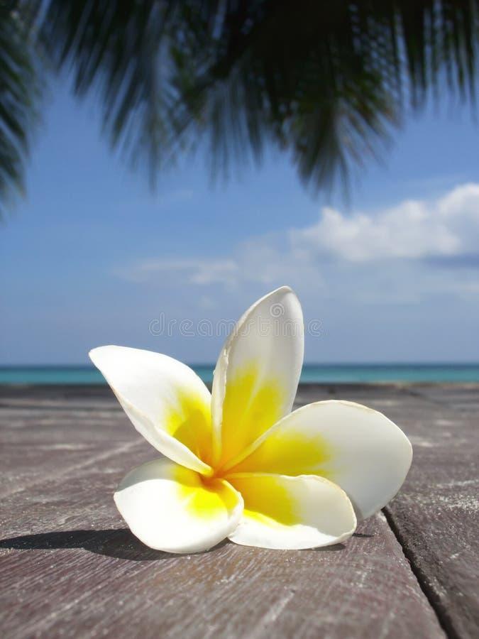Download Frangipani stock image. Image of health, coast, macro - 13922921