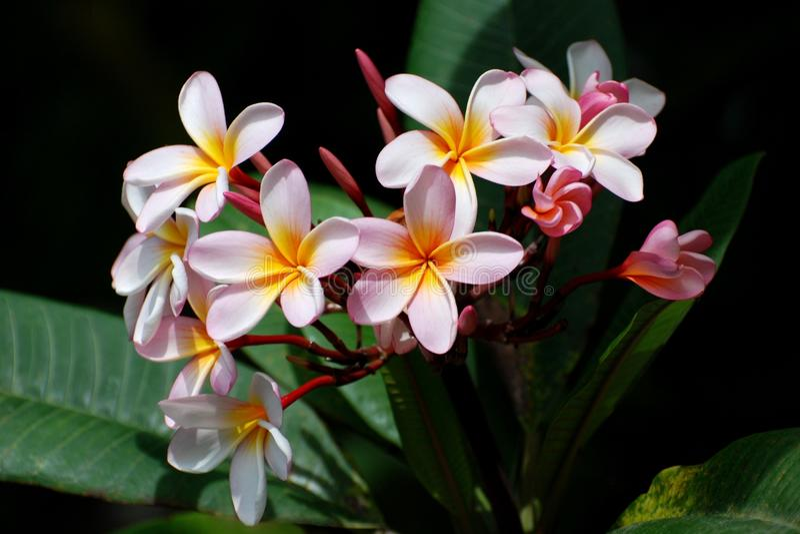 frangipani στοκ φωτογραφίες