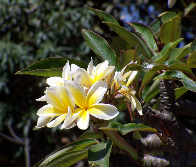 Frangipani royalty free stock photos