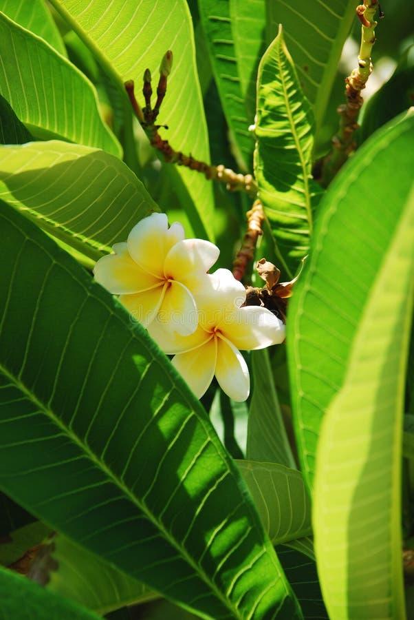 frangipani royaltyfri bild
