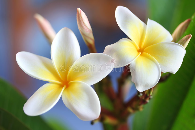 Frangipani #4. Glorious frangipani (plumeria), in natural light