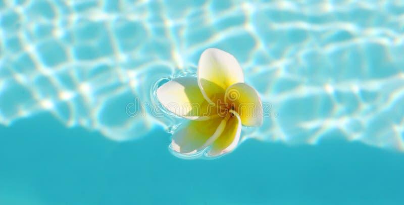 Download Frangipani stock image. Image of elegant, creative, floral - 4909863