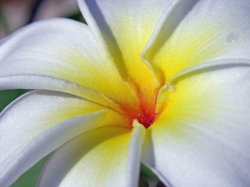 Download Frangipani Royalty Free Stock Photo - Image: 503965