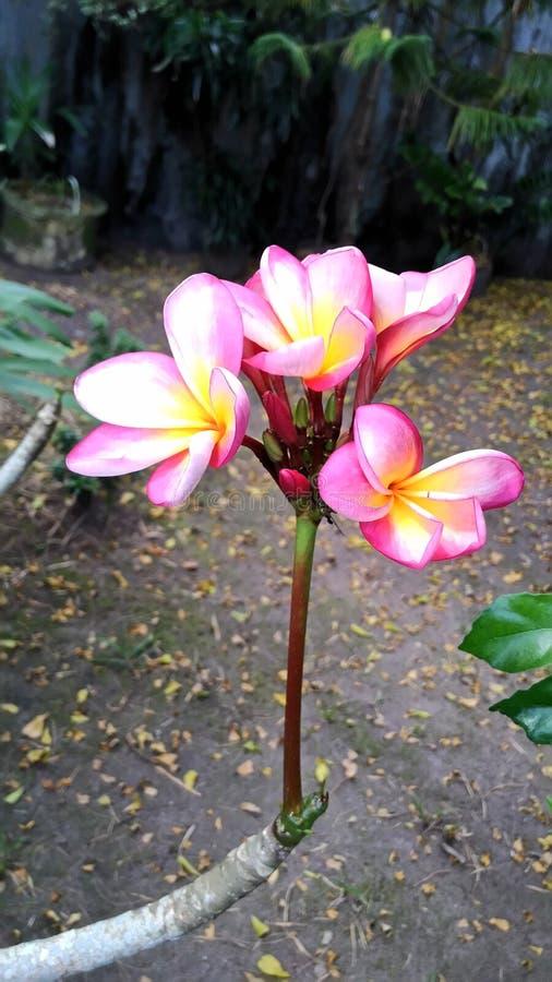 Frangipani imagem de stock royalty free