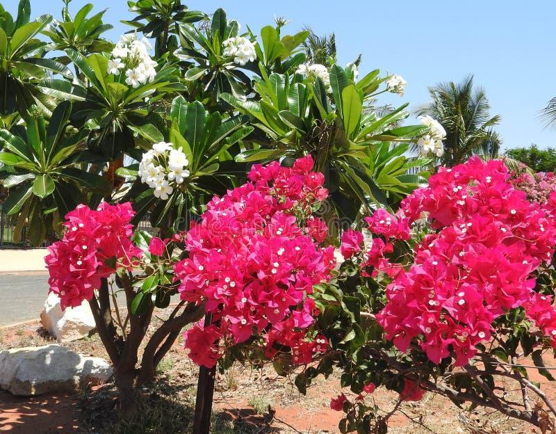 Frangipani amarelo com bogainvillea cor-de-rosa fotos de stock royalty free