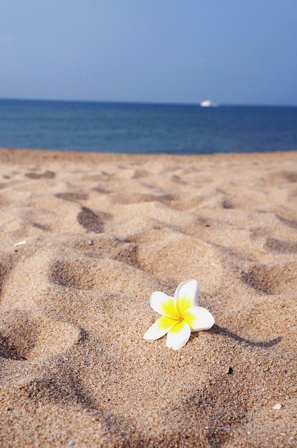 Frangipani auf dem Strand lizenzfreie stockfotografie