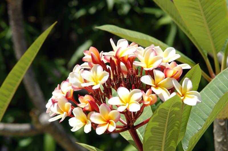Frangipani - Belize royalty-vrije stock foto