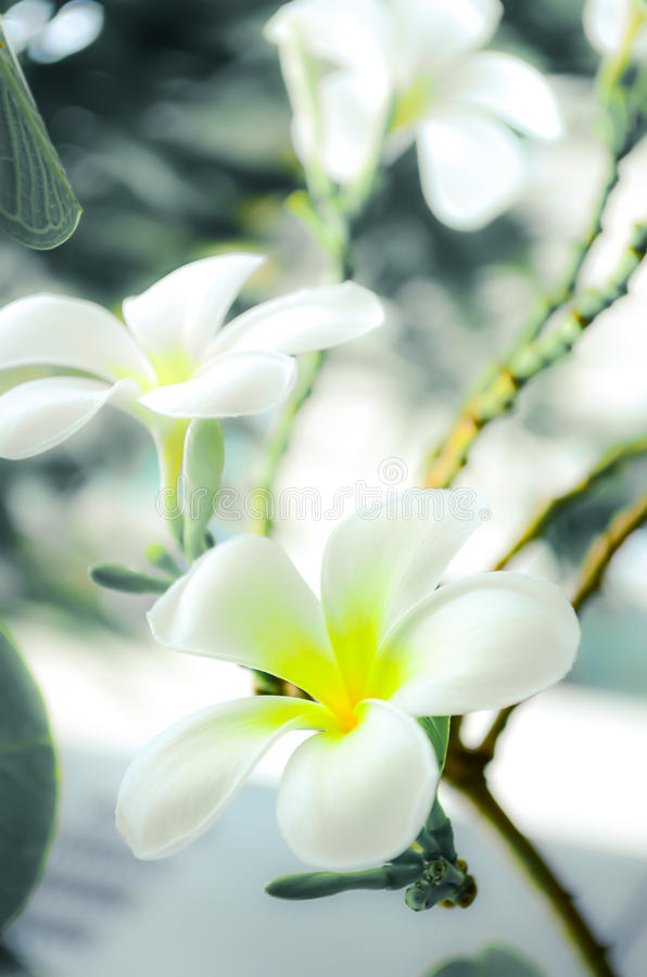 Frangipani bianco fotografia stock
