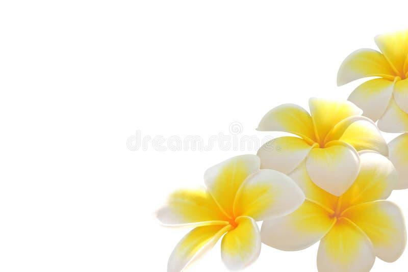 Frangipani blüht (Plumeria) stockfotografie
