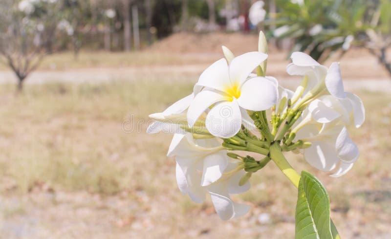 Frangipani blanc étroit photos stock