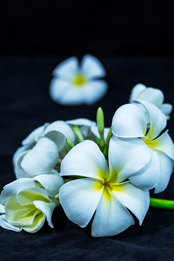 Frangipani blanc d'isolement sur le fond noir photographie stock