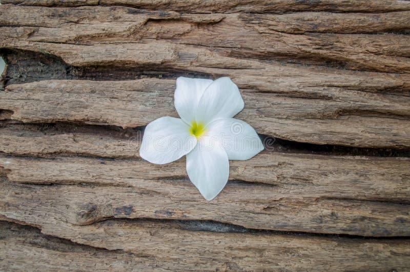 Frangipani blanc de pudica de Plumeria, bouquet de roses sur le vieux bois photos stock