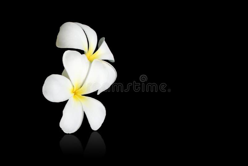 Frangipani blanco fotos de archivo