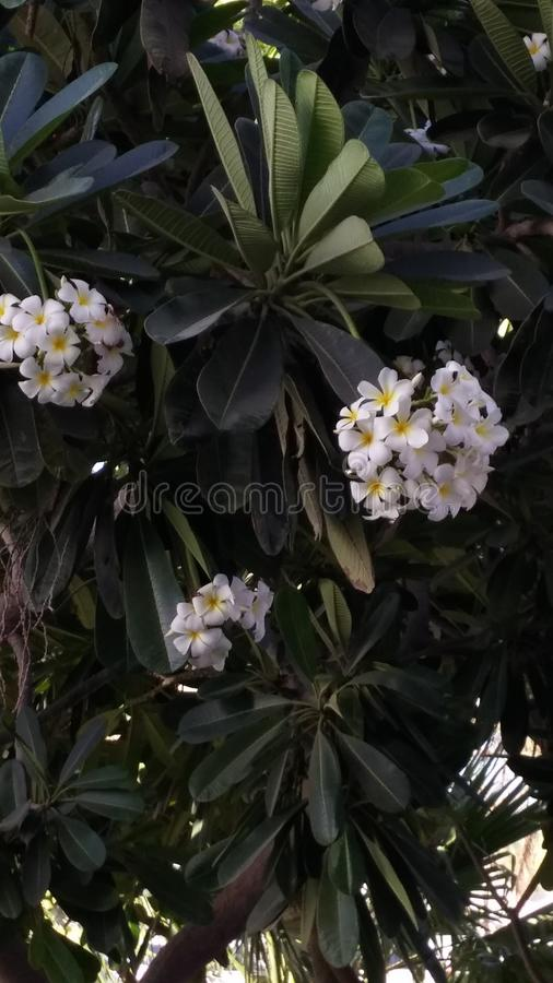 Frangipani blanco fragante, plumeria Árbol exótico del jardín con las floraciones blancas imagen de archivo libre de regalías
