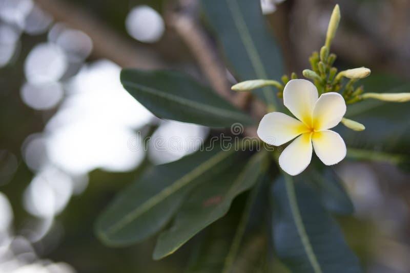 Frangipani bloeit het mooie wit en de bladeren van Frangipani, concept: Kuuroordaroma het Ontspannen Parfumsymbolen, a-boeket van royalty-vrije stock fotografie