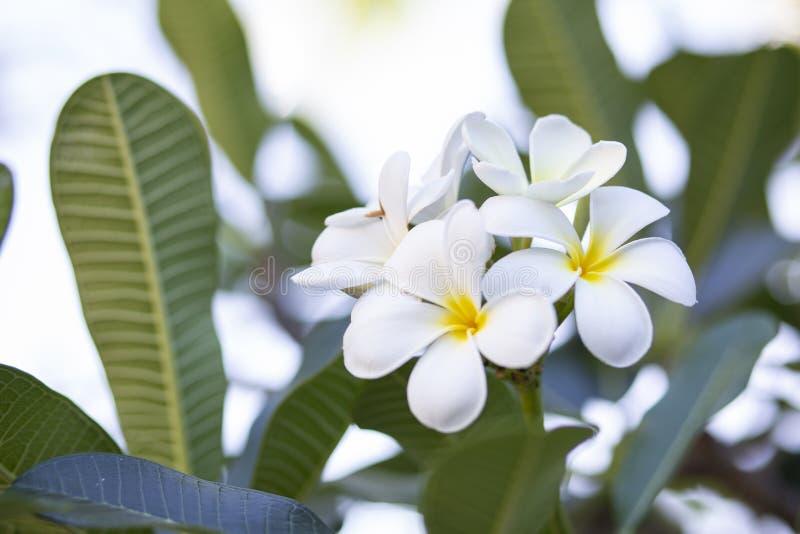 Frangipani bloeit het mooie wit en de bladeren van Frangipani, concept: Kuuroordaroma het Ontspannen Parfumsymbolen, a-boeket van royalty-vrije stock foto's