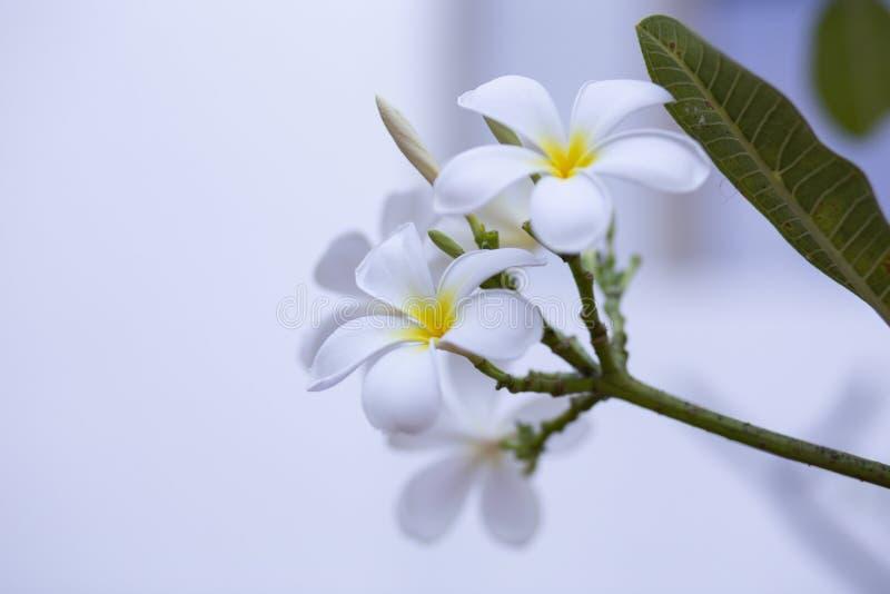 Frangipani bloeit het mooie wit en de bladeren van Frangipani, concept: Kuuroordaroma het Ontspannen Parfumsymbolen, a-boeket van stock afbeeldingen