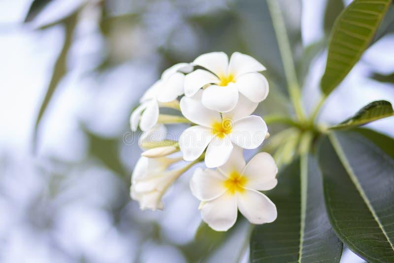 Frangipani bloeit het mooie wit en de bladeren van Frangipani, concept: Kuuroordaroma het Ontspannen Parfumsymbolen, a-boeket van royalty-vrije stock foto