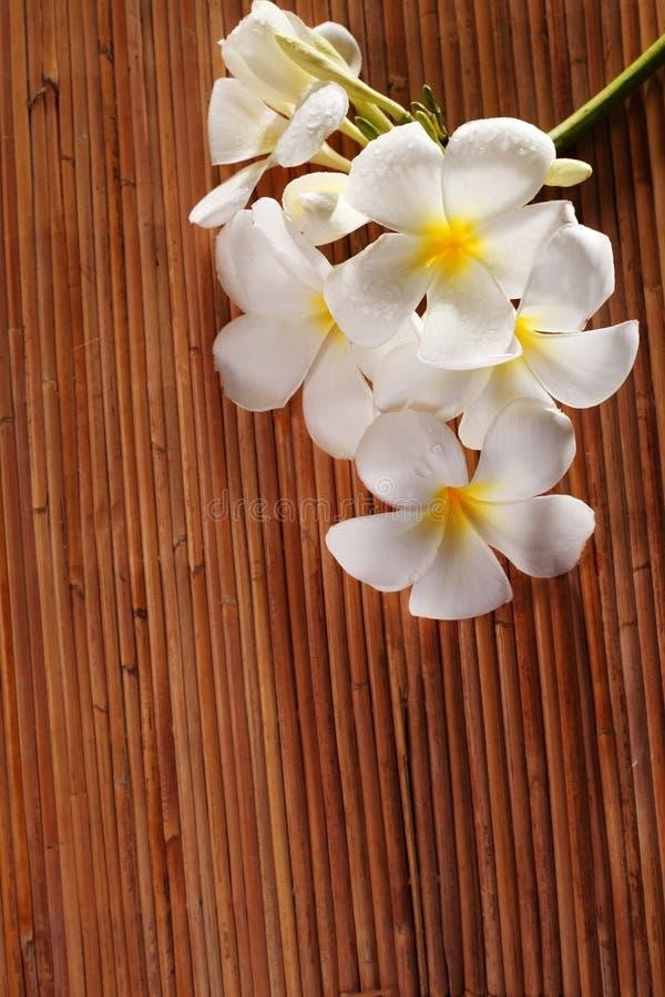 Frangipani blossom stock photos